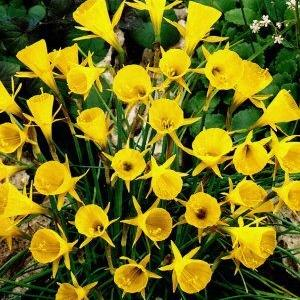 Narcisus Bulb. Golden Bells