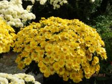 Chrysanthemum multiflorum
